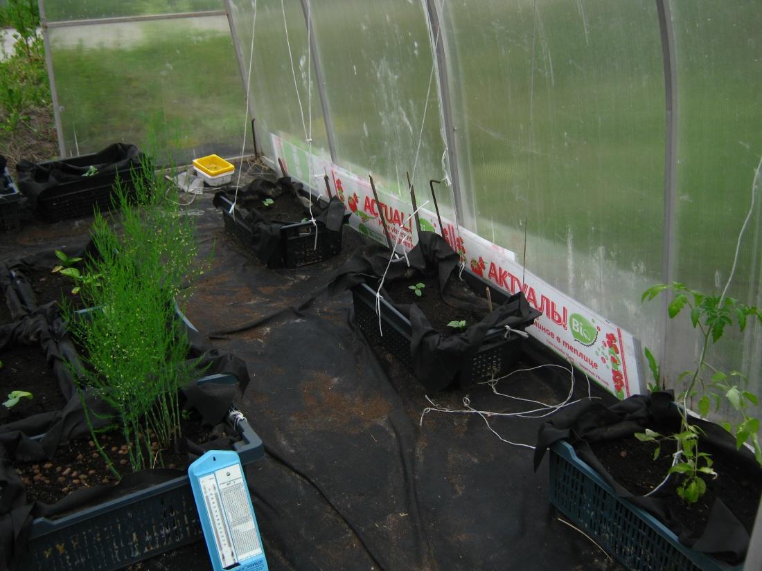 СафПласт продолжает проводить исследования по влиянию био-слоя сотового поликарбоната для теплиц на рост овощных культур.